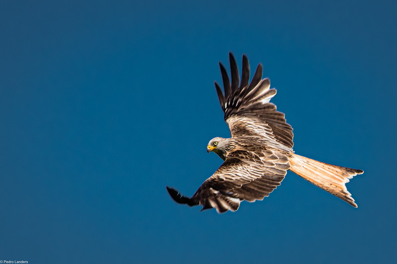 Red Kite - Top View