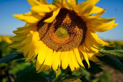 20200822 Sunflowers