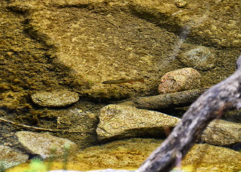 NEA_0447-7x5-Trout-Three Rivers.jpg