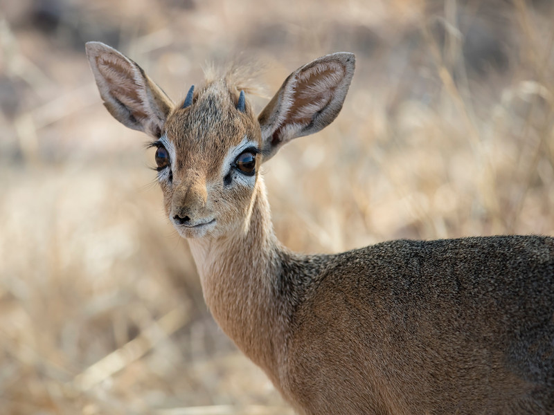 Damara Dik-dik (sub-species of Kirk's Dik-dik)