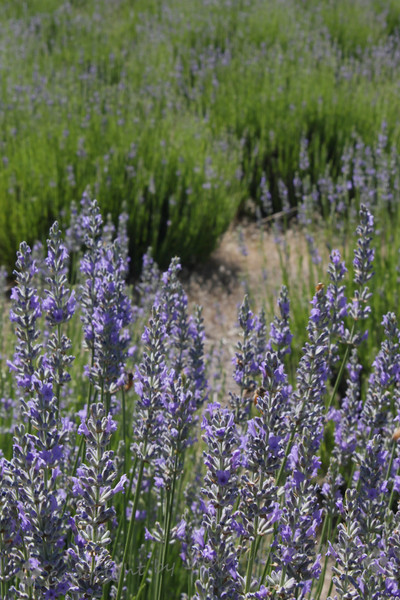 Out in the Fields ~ Lavender everywhere.