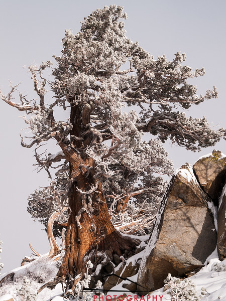 The Tree at Carson Pass CA 2