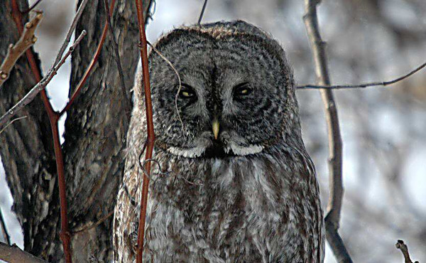 Great Grey Owls (Montreal 2005)
