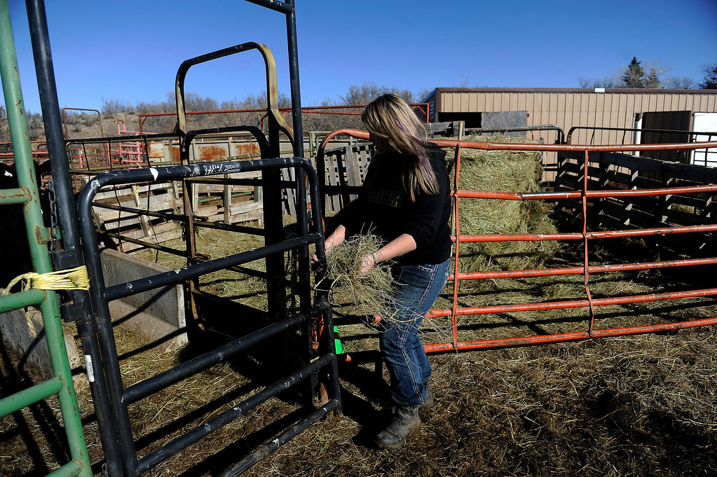 . CASTLE ROCK, CO - JANUARY 17: Rochelle Quinn grabs a handful of hay for her cow, Lucy, while prepping the animal for show at her home in Castle Rock, Colorado on January 17, 2014. Quinn will be showing her animals during the National Western Stock Show this weekend in Denver. (Photo by Seth McConnell/The Denver Post)