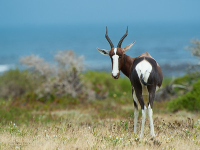 Bontebok (Damaliscus pygargus pygargus)