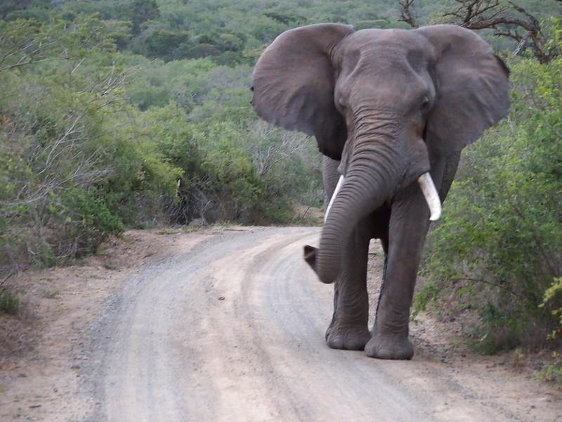 P5046319-bull-elephant.JPG