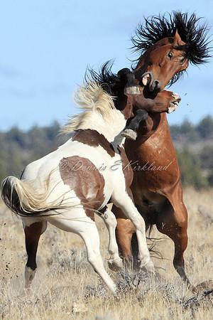 Mustangs, Wild/Ferrel Horses