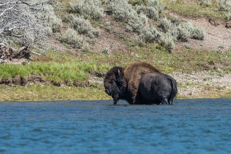 Bison-in-water-9.jpg