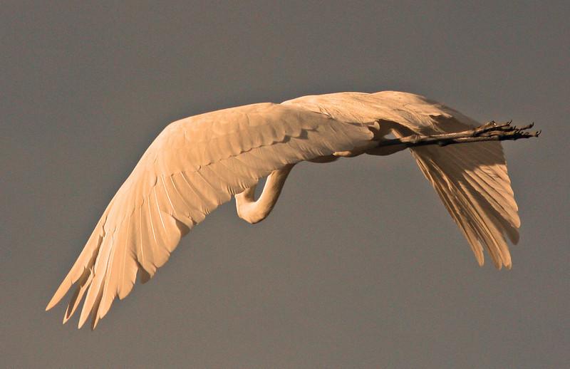 WB~Rookery egret flight no head1280.jpg