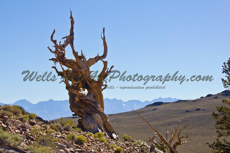 Lone bristlecone with Sierras.jpg