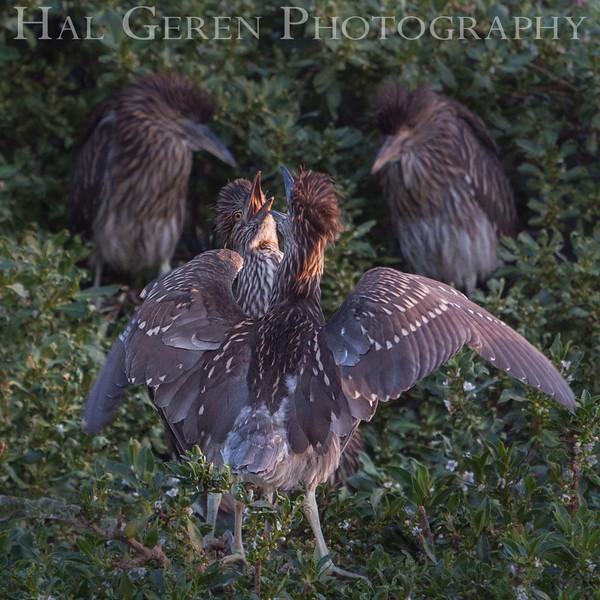 Black Crowned Night Heron Fledglings Newark, California 1304N-BF3