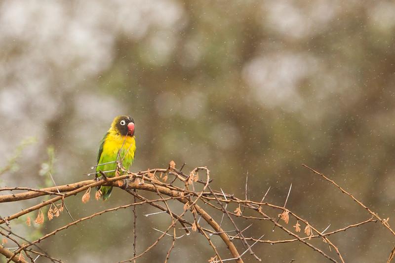 Yellow-collared Lovebird - Tarangire National Park, Tanzania