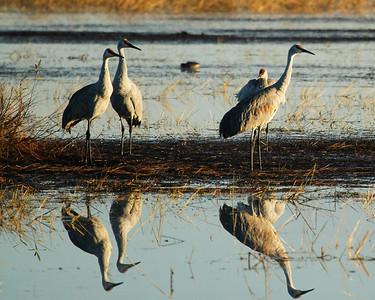 Crex Meadows cranes 10-24-2011