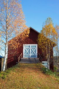 Autumn birches and red barn