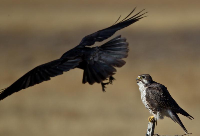 Prairie Falcon  Crowley Lake  2013 10 20-2.CR2