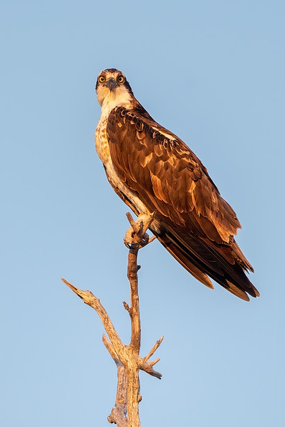#1581 Osprey