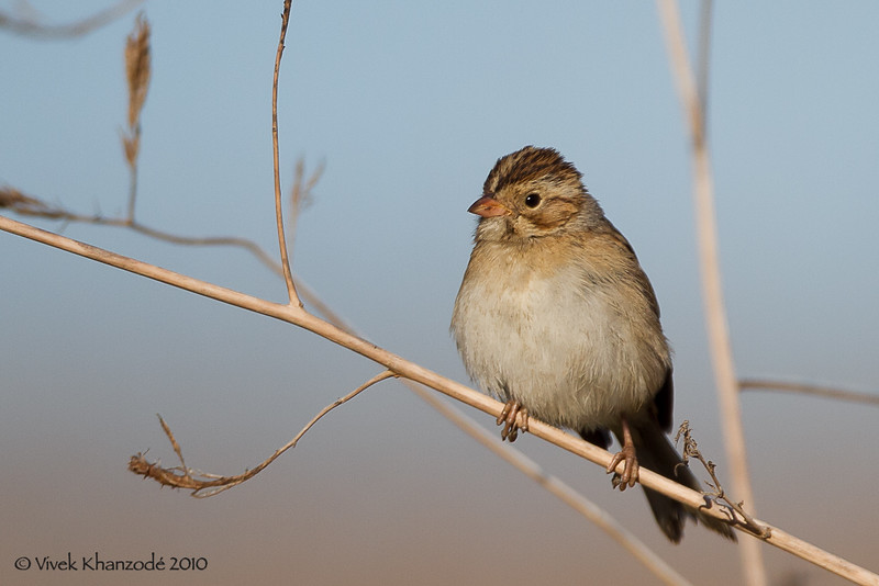 Clay-colored Sparrow, Byxbee Park, Palo Alto, CA