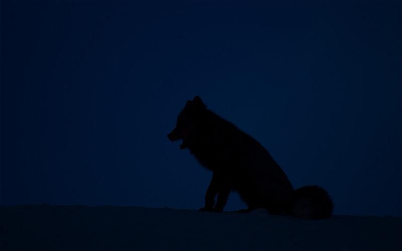 A black phase Cascade Fox silhouetted against a darkening skyline.