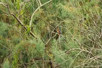Malachite Kingfisher ?
