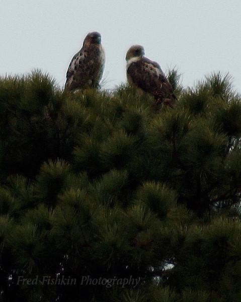 Pine tree hawks 2.jpg