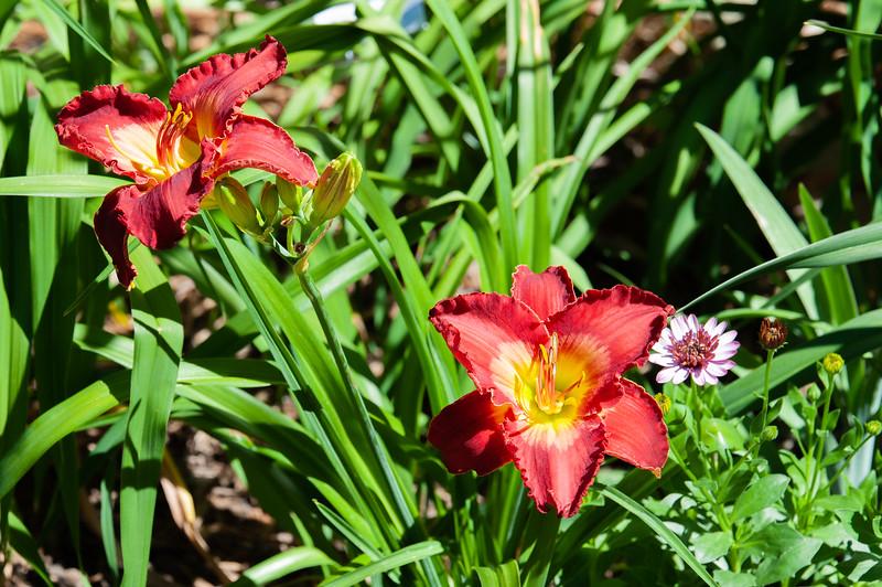 20190714 Daylilies and Flowers-6403.jpg