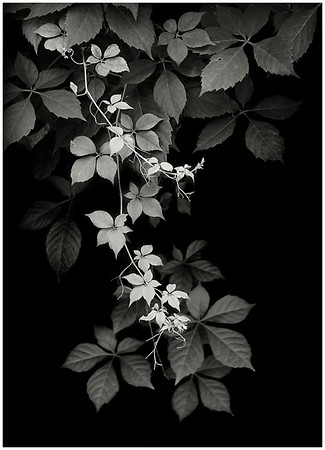 Black and White Botanical