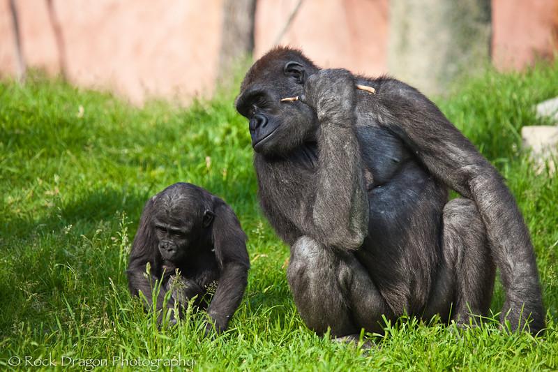 Western Lowland Gorillas, Calgary Zoo