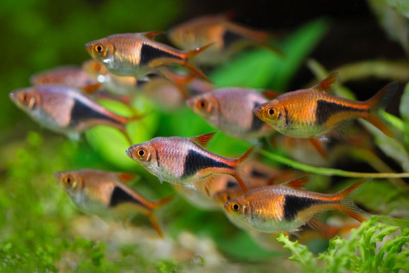 The shoal of rasboras