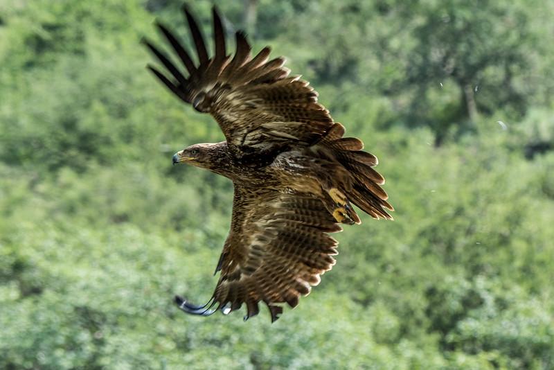 Tawny eagle, Aquila rapax-2.jpg