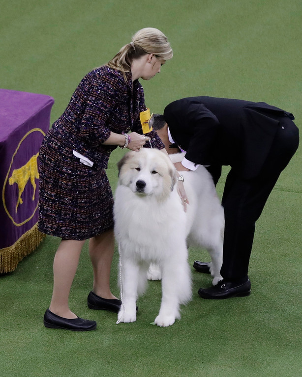 . Brooks, a great Pyrenees, competes with the working group during the 141st Westminster Kennel Club Dog Show on Tuesday, Feb. 14, 2017, in New York. (AP Photo/Frank Franklin II)
