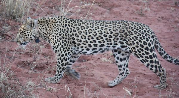 Namibia Part 3 - Cheetahs!