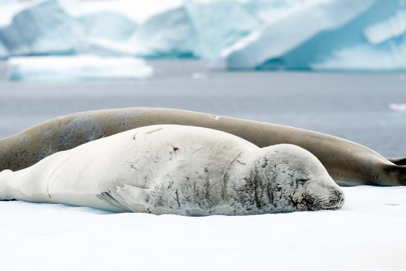 icebergs_pleneau_island_lemaire_20130106_7976.jpg