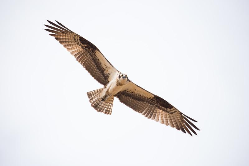 osprey-2953.jpg