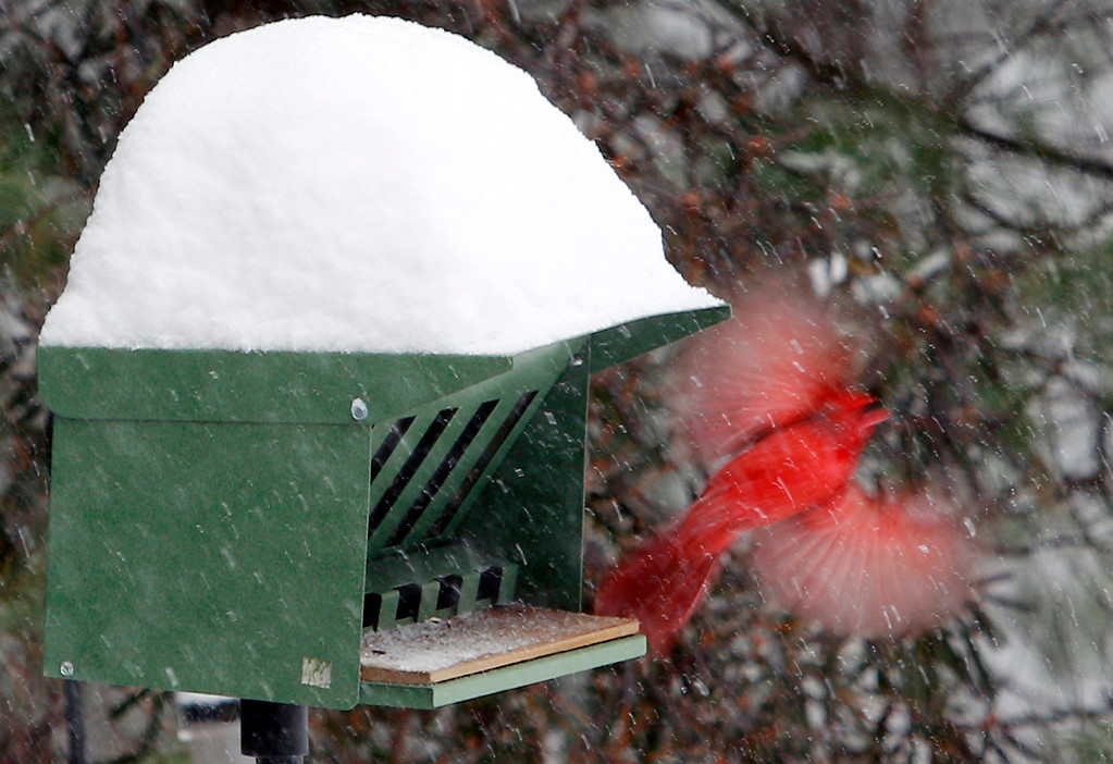 . A cardinal takes flight from a snow-covered bird feeder Wednesday, Feb. 5, 2014, in Marlborough, Mass. Up to a foot of snow was predicted through the day in some parts of Massachusetts. (AP Photo/Bill Sikes)