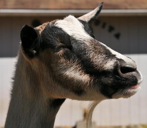 Alpha Goat