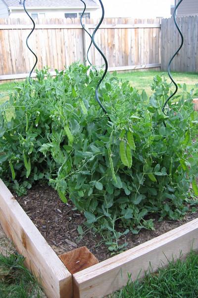 Peas! - June 2006