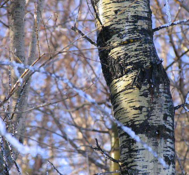 Winter Poplar.jpg