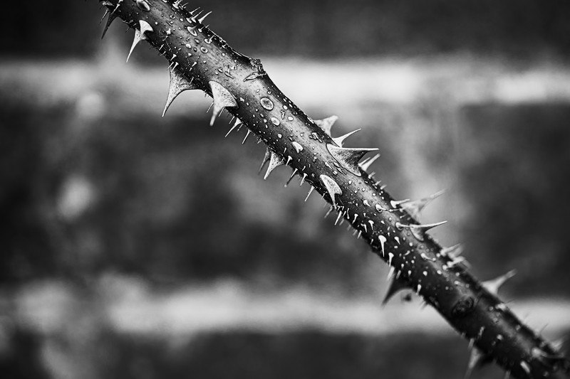 Thorns in black and white 2.jpg