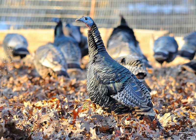 Wild turkey in farming area.
