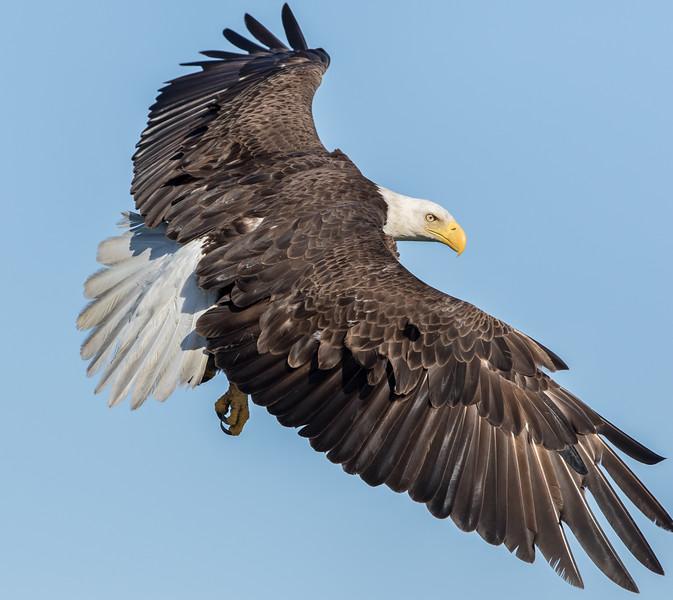 Bald Eagle-2979.jpg