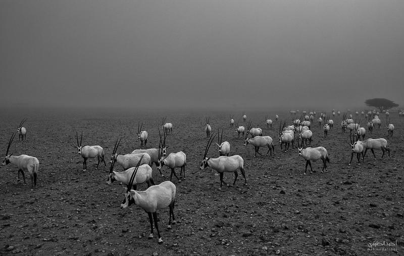Arabian Oryx (35).jpg