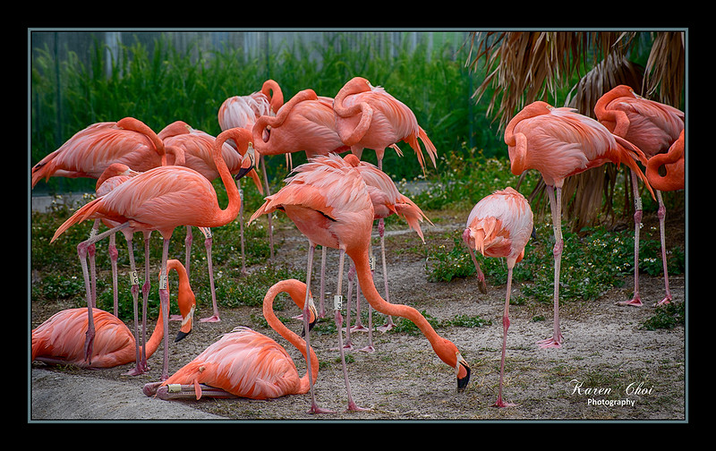 Flock of Flamingos sm.jpg