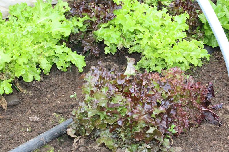 IA Yellow Birch Farm lettuce 033017 ML.jpg