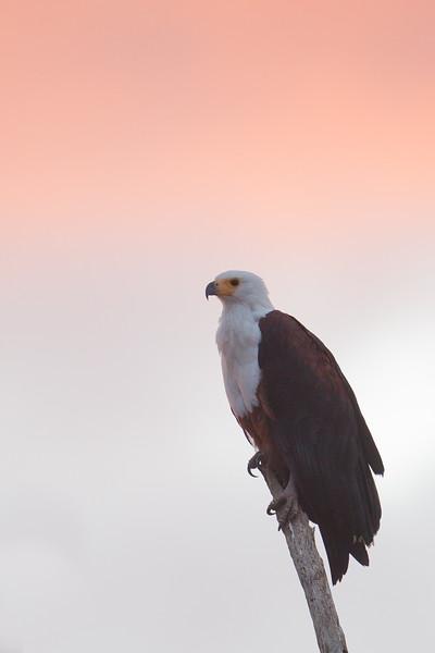 African Fish Eagle - Amboseli National Park, Kenya