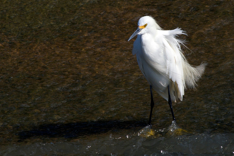 Snowy egret at junction of Willow Bayou and Brays Bayou, Houston