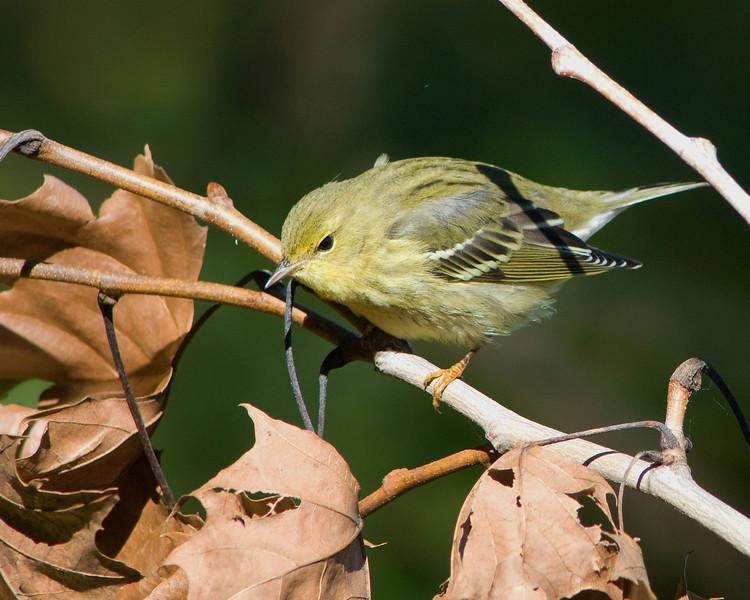 Pine Warbler  Fall plumage  Dyke Marsh