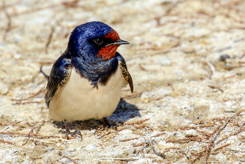 Swallow taking a rest!