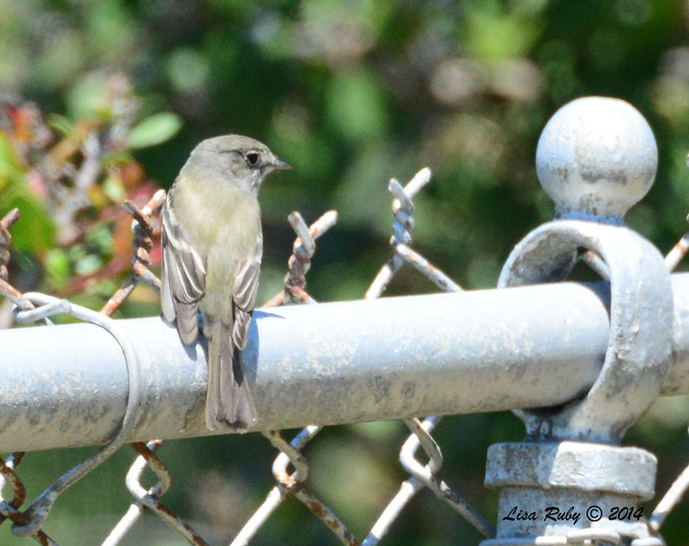 Unknown Empidonax - 5/4/2014 - Fort Rosecrans National Cemetery