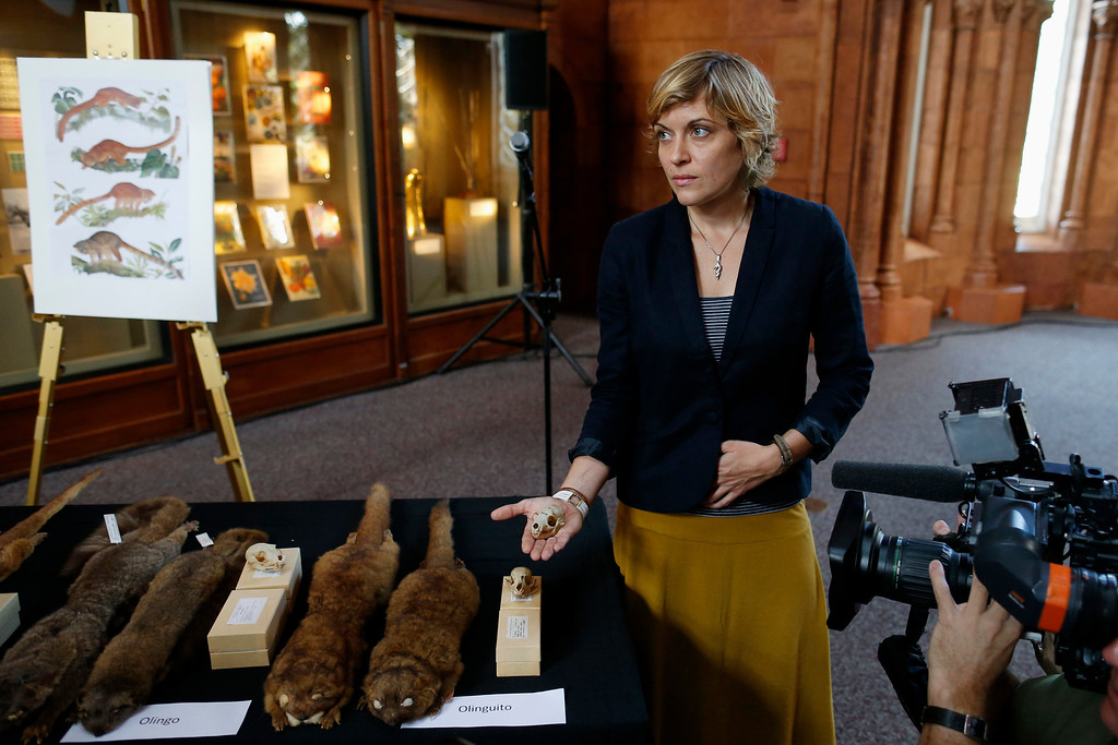 . Smithsonian Institution Museum Specialist Nicole Edmison displays a skull from a specimen of olinguito (Bassaricyon neblina), which is the first carnivore species to be discovered in the American continents in 35 years, Thursday, Aug. 15, 2013, during a news conference in Washington. (AP Photo/Charles Dharapak)