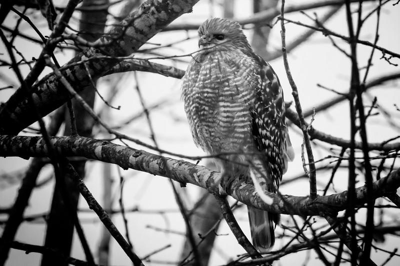 01.05.19 - Prairie Creek Marina: Red-Shouldered Hawk